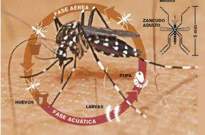 Aedes-aegypti-Costa-Rica-fuerte_LNCIMA20160203_0176_5