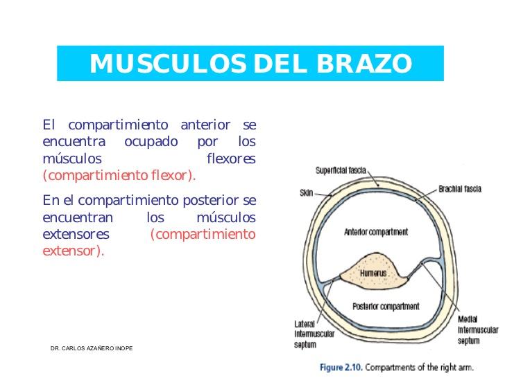 musculos-de-la-extremidad-superior-28-728